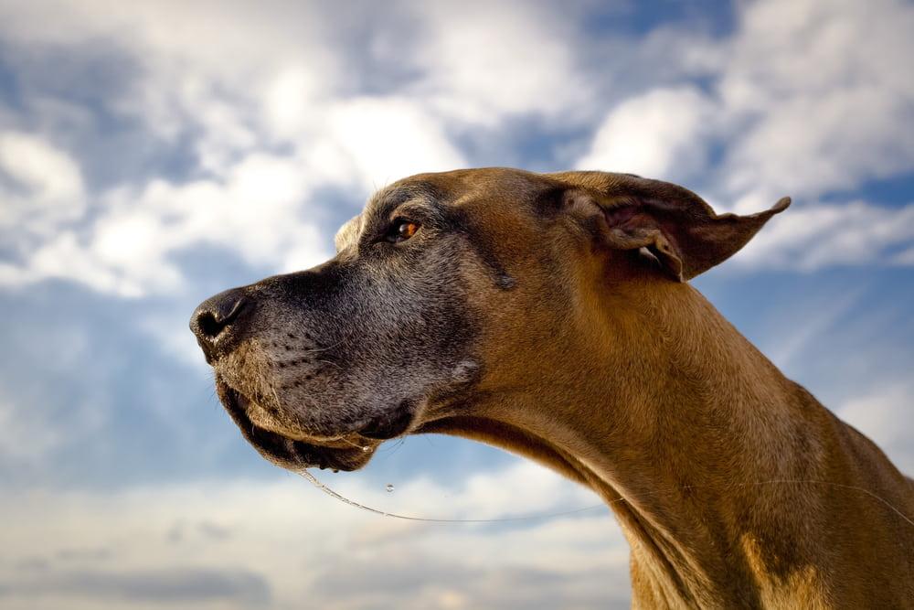 Closeup of Great Dane dog