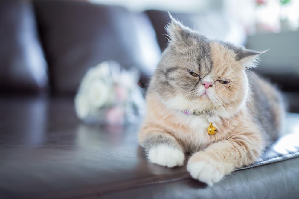Sleepy Persian cat
