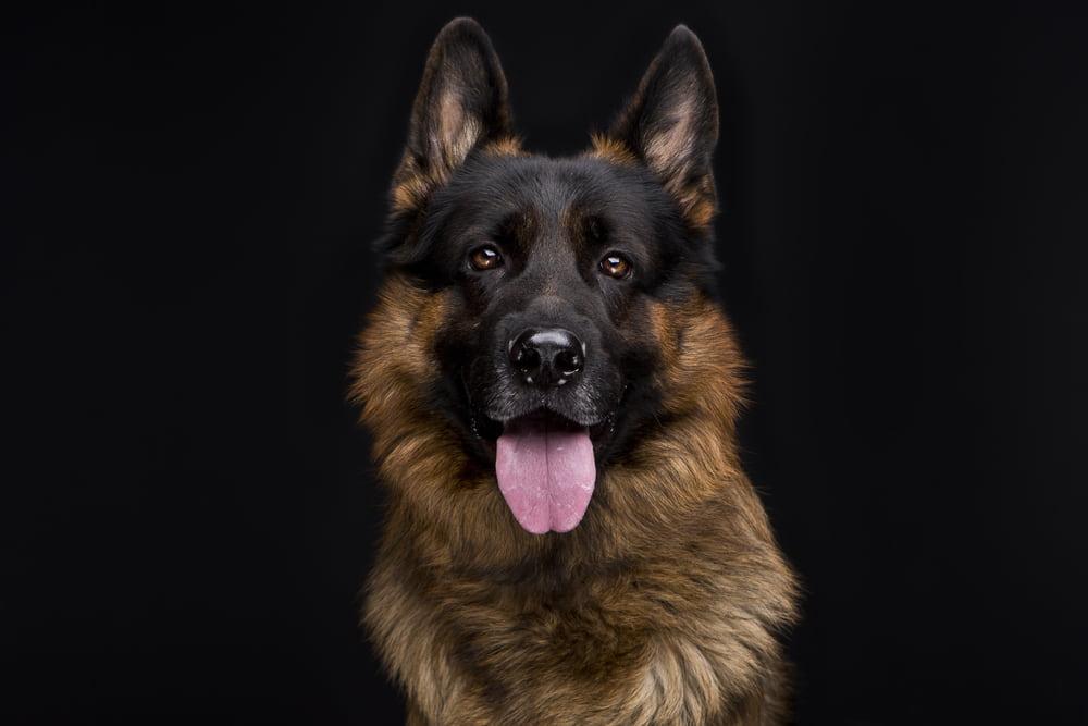 Portrait of smiling German Shepherd