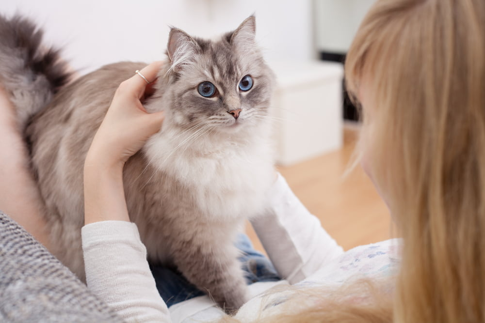 Woman with adopted Ragdoll cat