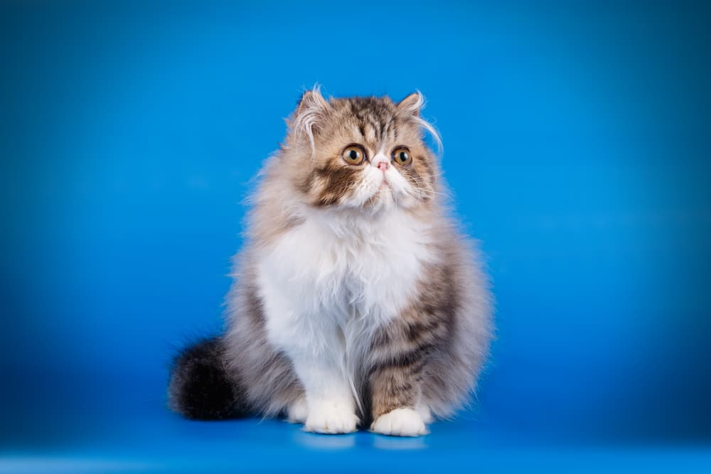 Sweet Persian cat on studio background