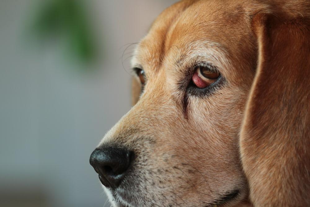 Beagle with cherry eye
