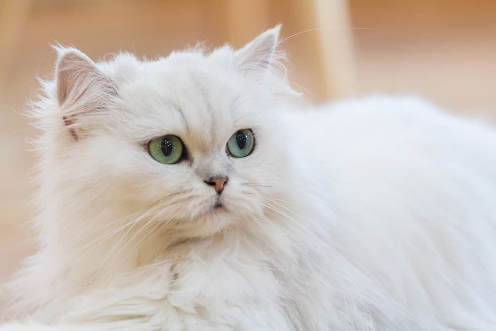 White Persian cat with green eyes