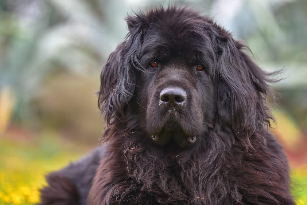 Newfoundland dog outdoors
