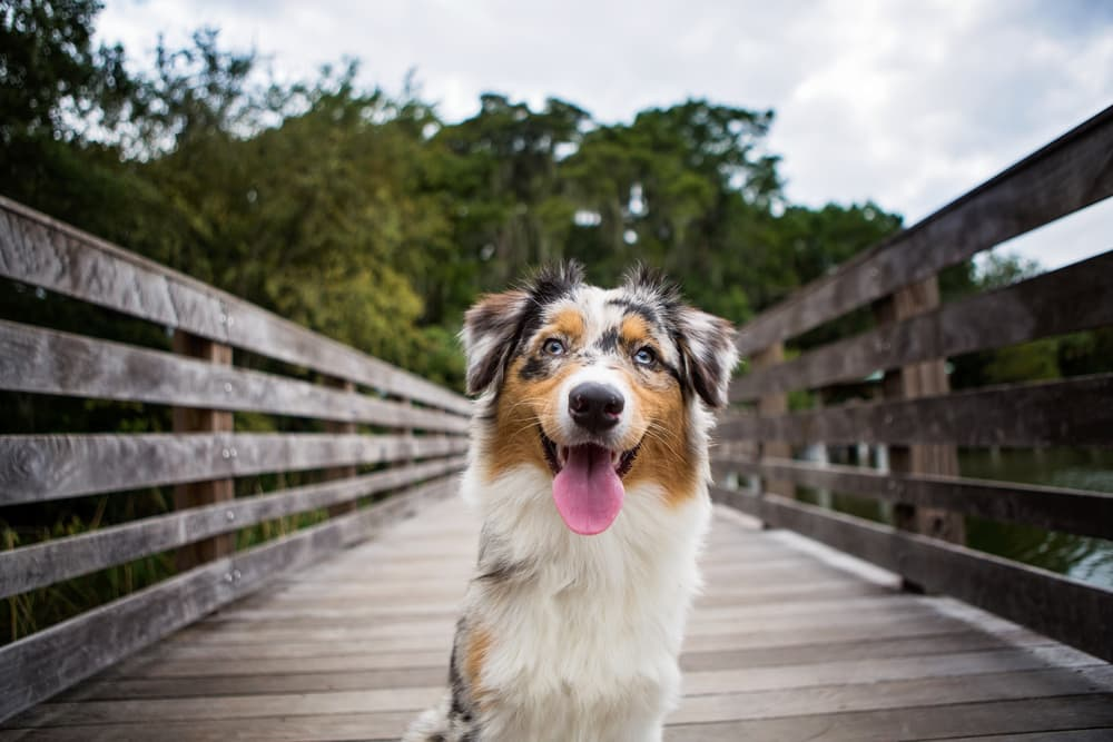Australian Shepherd on bridge