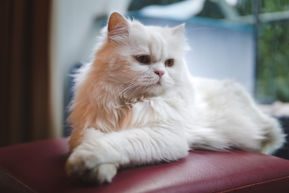 Persian cat lying down with paws crossed