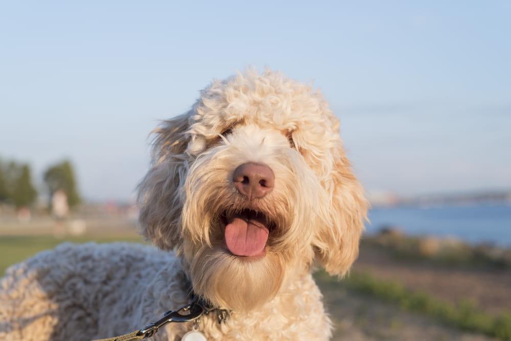 Smiling Labradoodle dog
