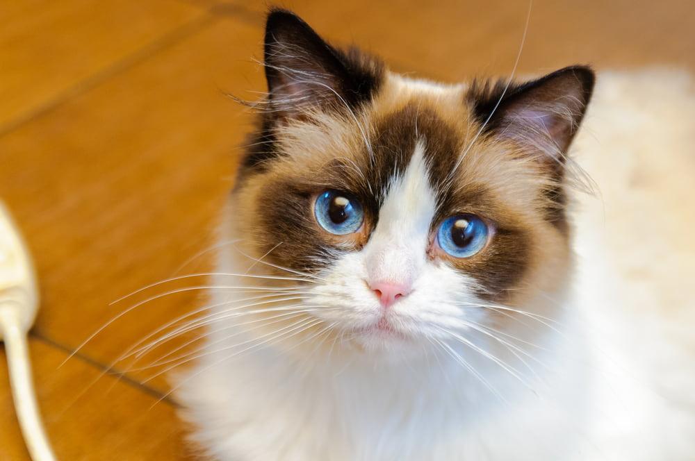 Ragdoll cat with big eyes