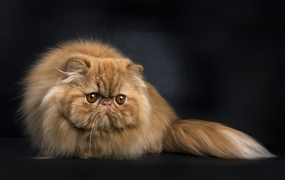 Tan Persian cat on black background