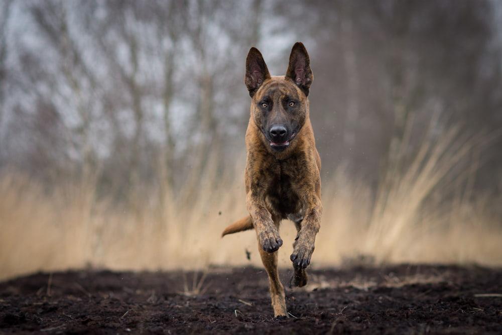 Dutch Shepherd running