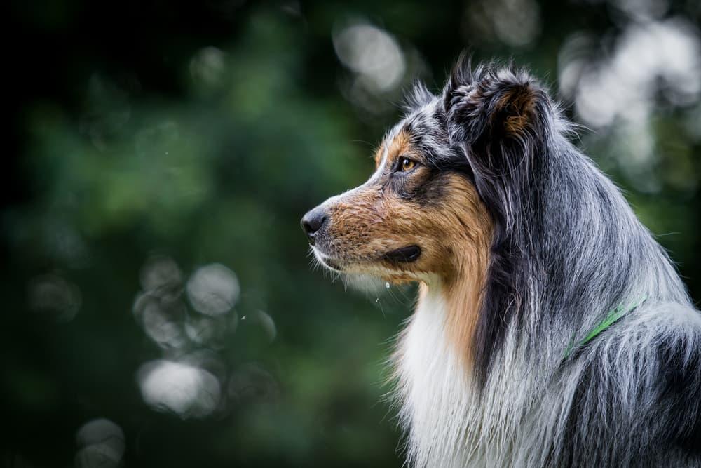Side profile of Australian Shepherd