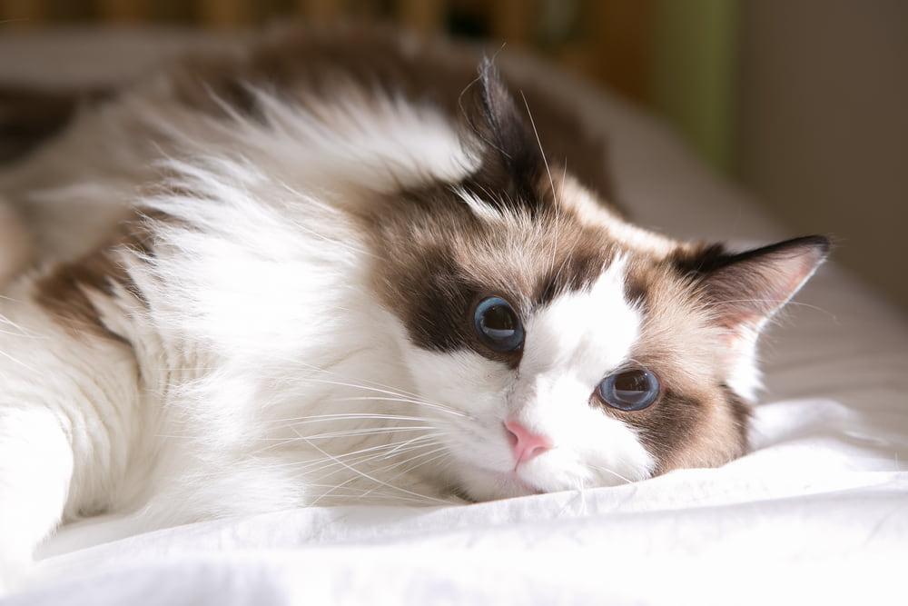 Sick Ragdoll cat