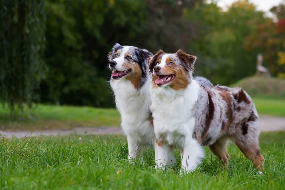 Two Australian Shepherds