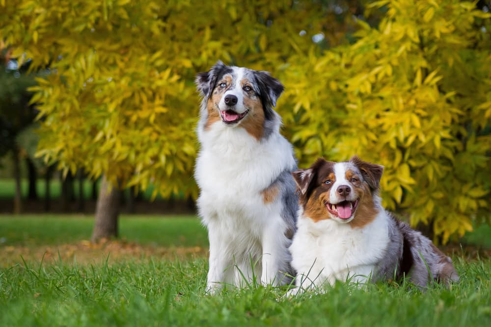 Pair of Australian Shepherd dogs