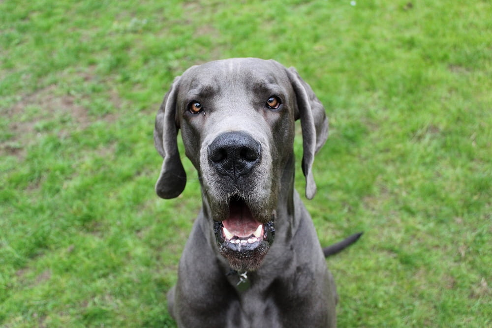 Great Dane with mouth open