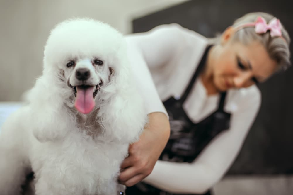 Professional dog groomer with Poodle