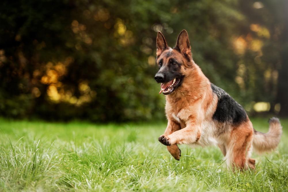Adult German Shepherd outdoors