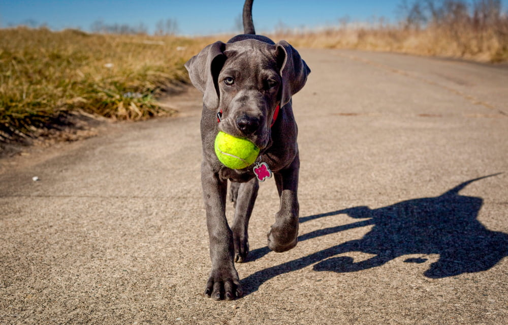 Great Dane puppy with ball