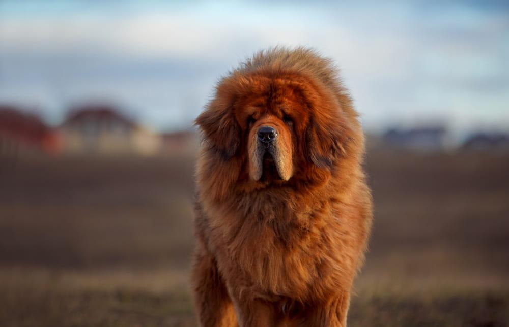 Large Tibetan Mastiff outdoors