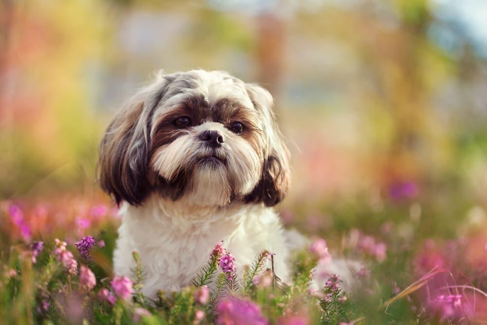 Shih Tzu in flower field