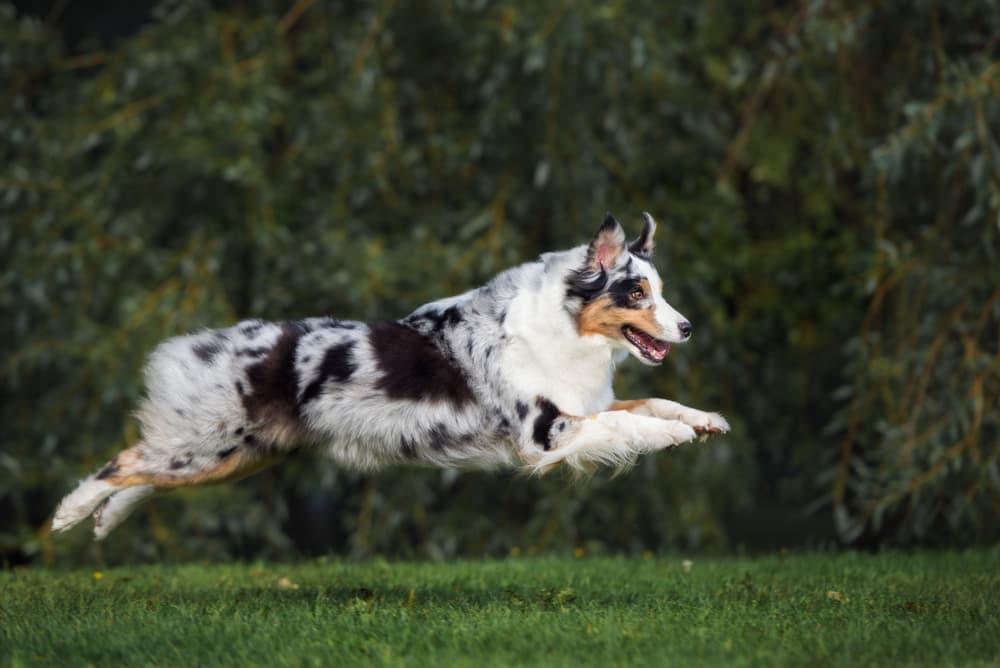 Australian Shepherd dog leaping