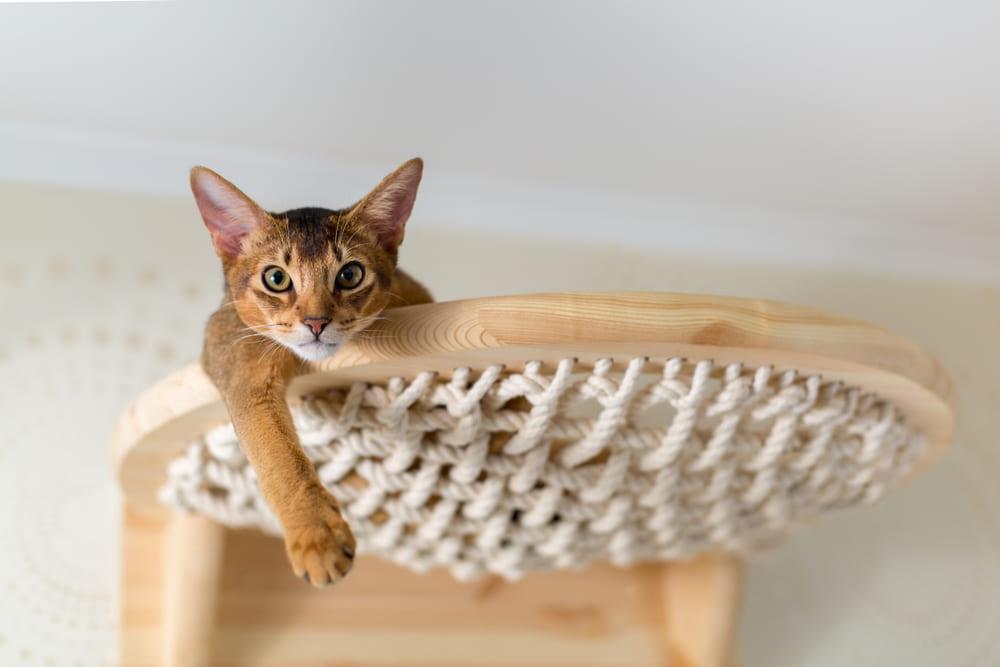 Abyssinian cat in cat tree
