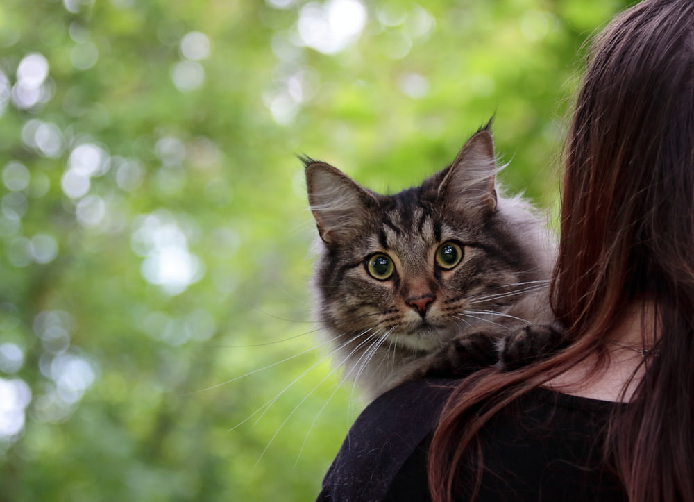 Woman holding Norwegian Forest Cat