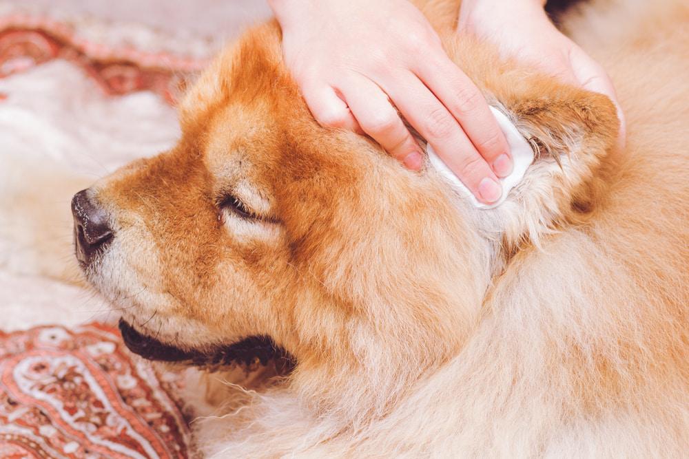 Wiping dog's ears
