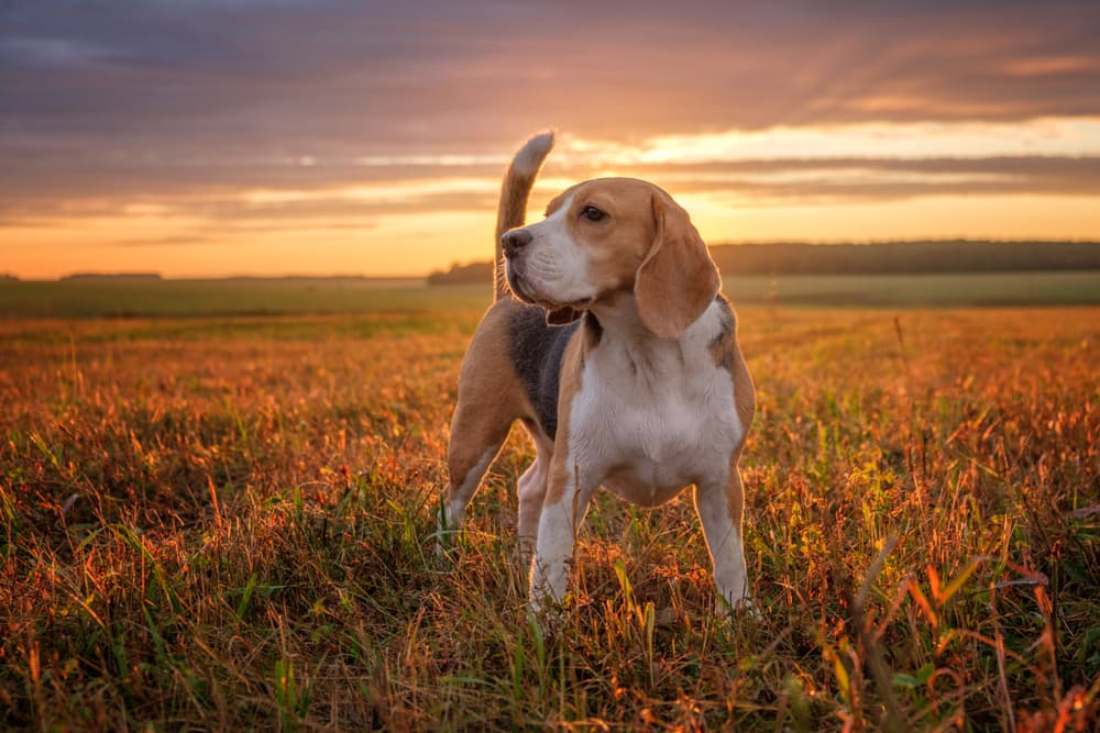 Beagle in field