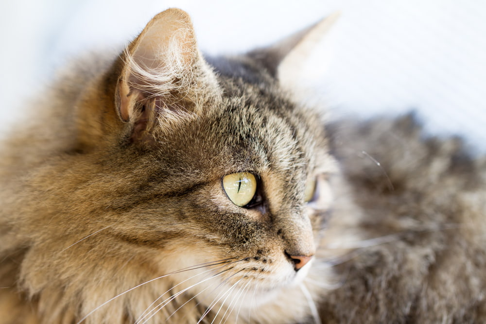 Profile view of Norwegian Forest Cat