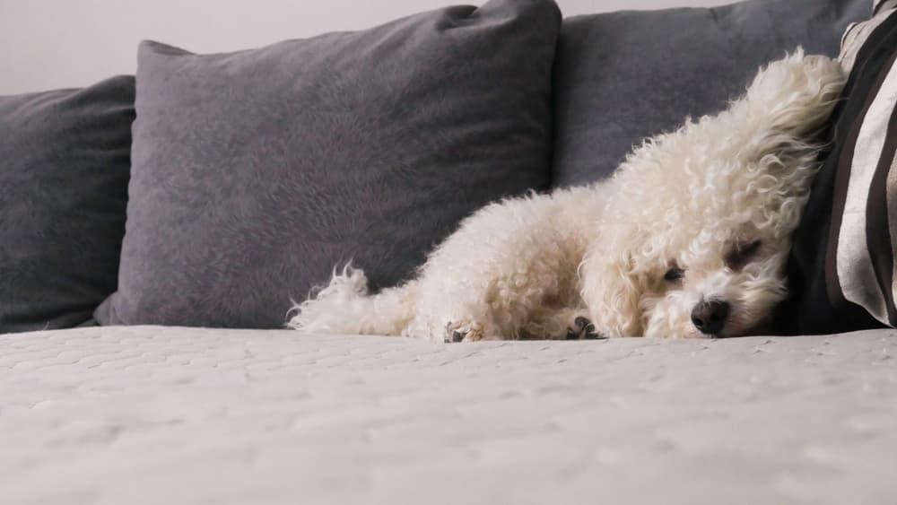 Bichon sleeping on sofa