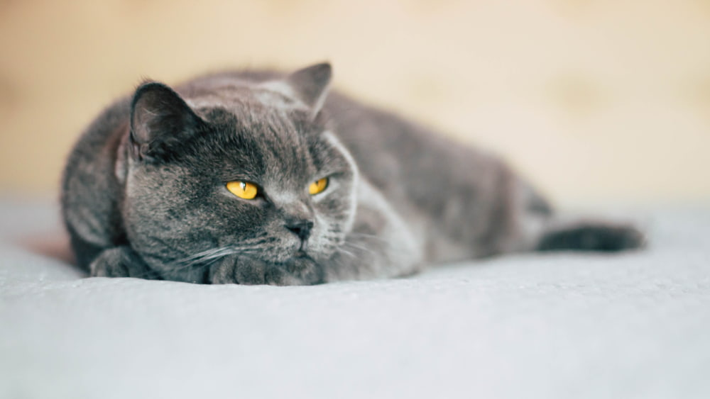 Calm cat lying down