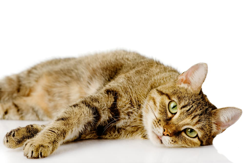 Sick cat lying down on white background