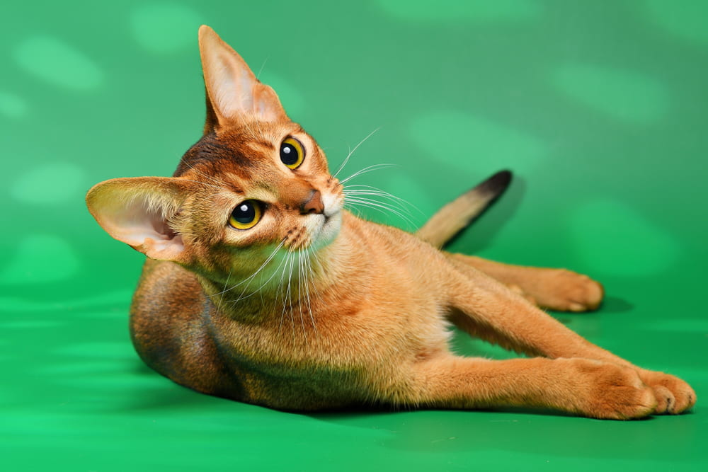 Abyssinian cat on green background