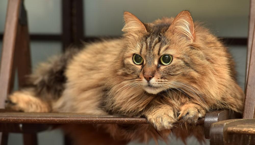 Playful Norwegian Forest Cat