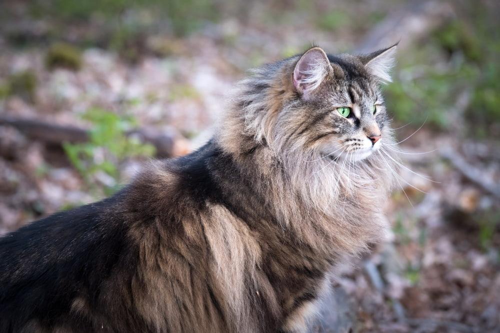 Pretty Norwegian Forest Cat