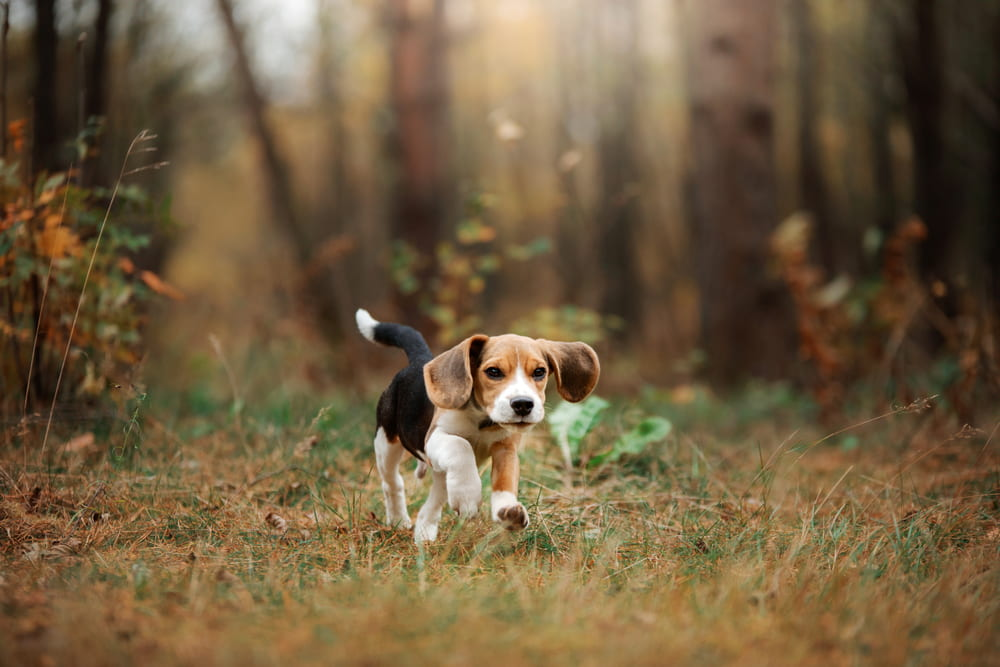 Beagle puppy in woods
