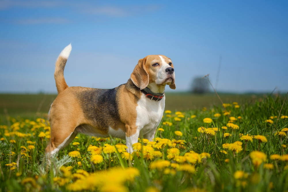 Beagle in floral field