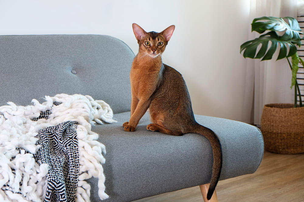 Abyssinian cat at home