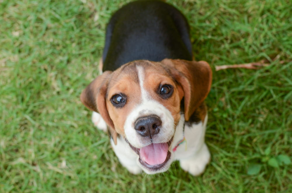 Beagle puppy smiling