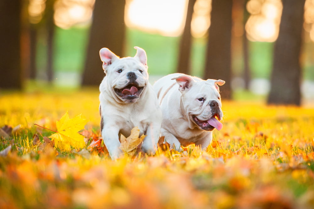 White Bulldog puppies in leaves