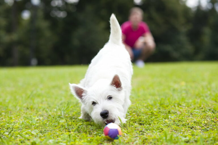 Dog playing in lawn