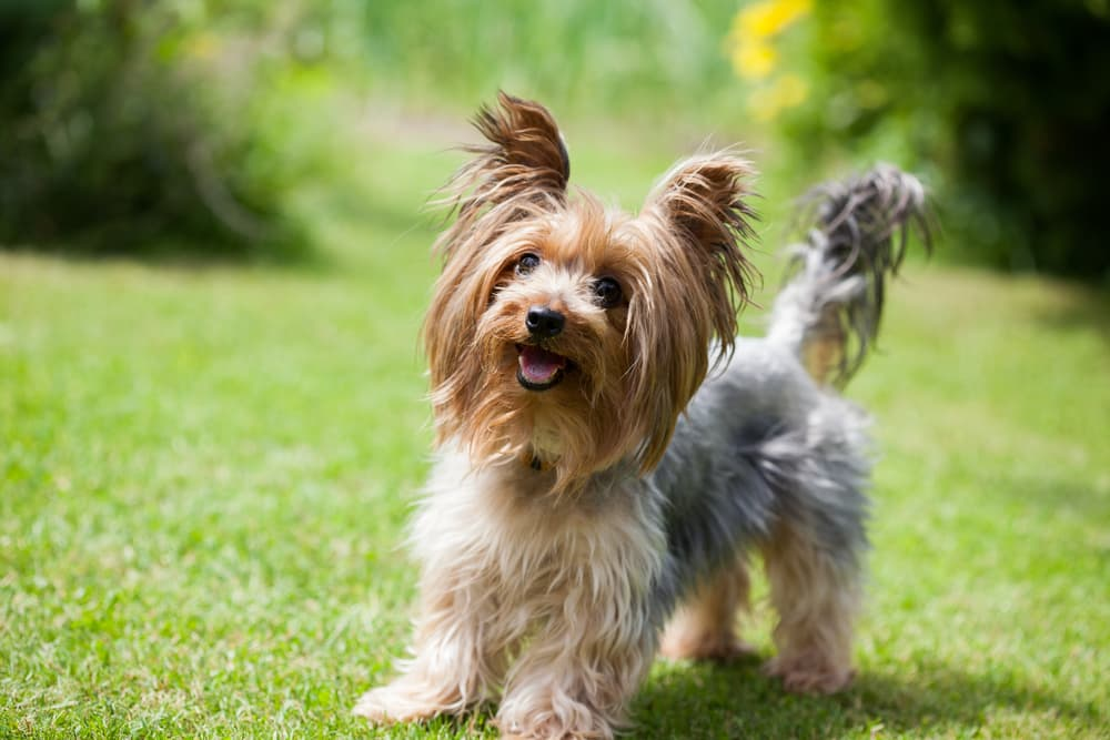 Yorkshire terrier in grass