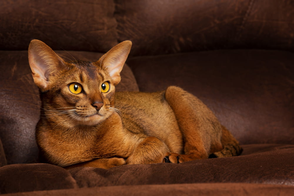 Abyssinian cat on sofa