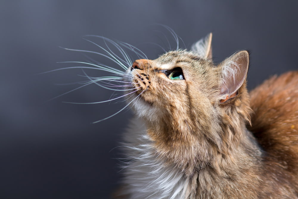 Cat Pheromone Diffusers: 6 to Calm Your Anxious Feline
