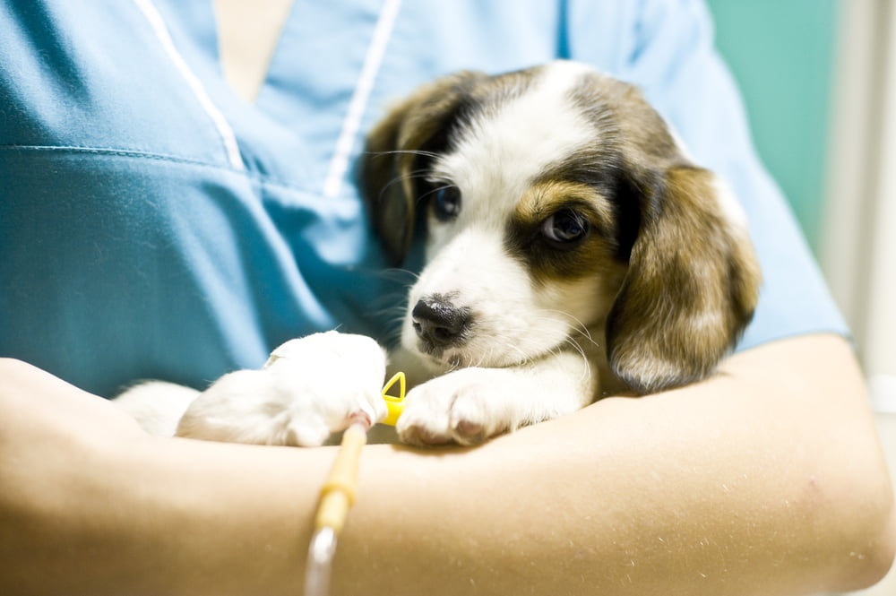 Veterinarian treating a puppy
