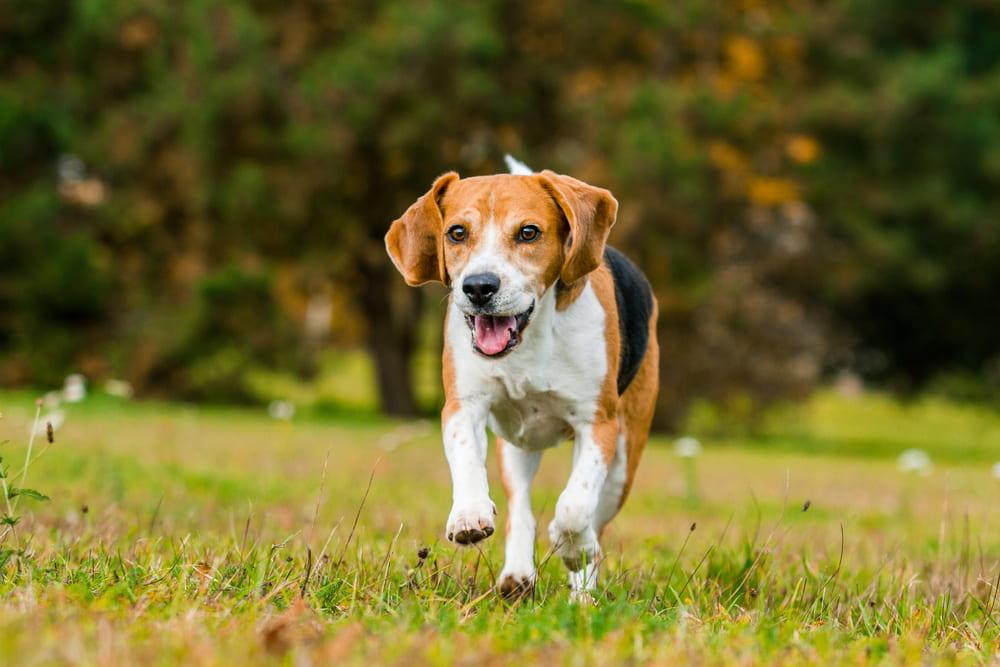 Playful Beagle dog running
