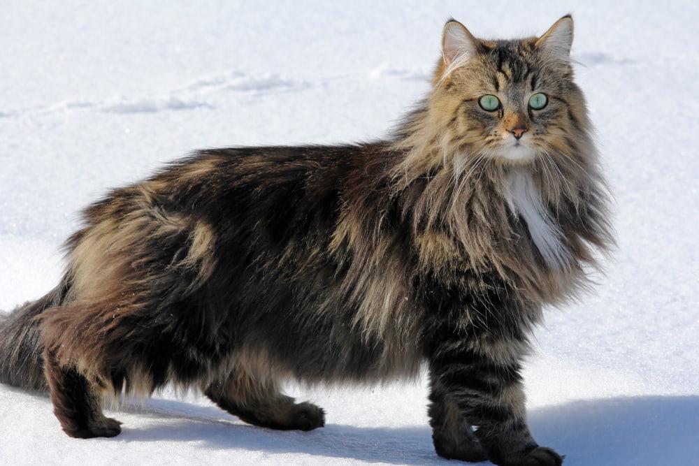 Large Norwegian Forest Cat in winter
