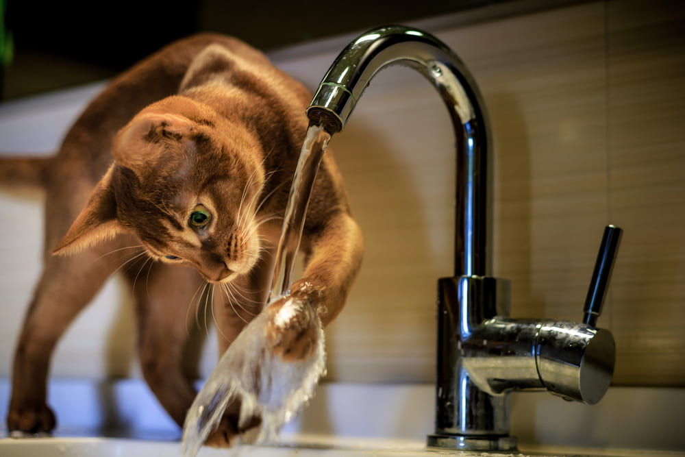 Abyssinian cat playing with faucet