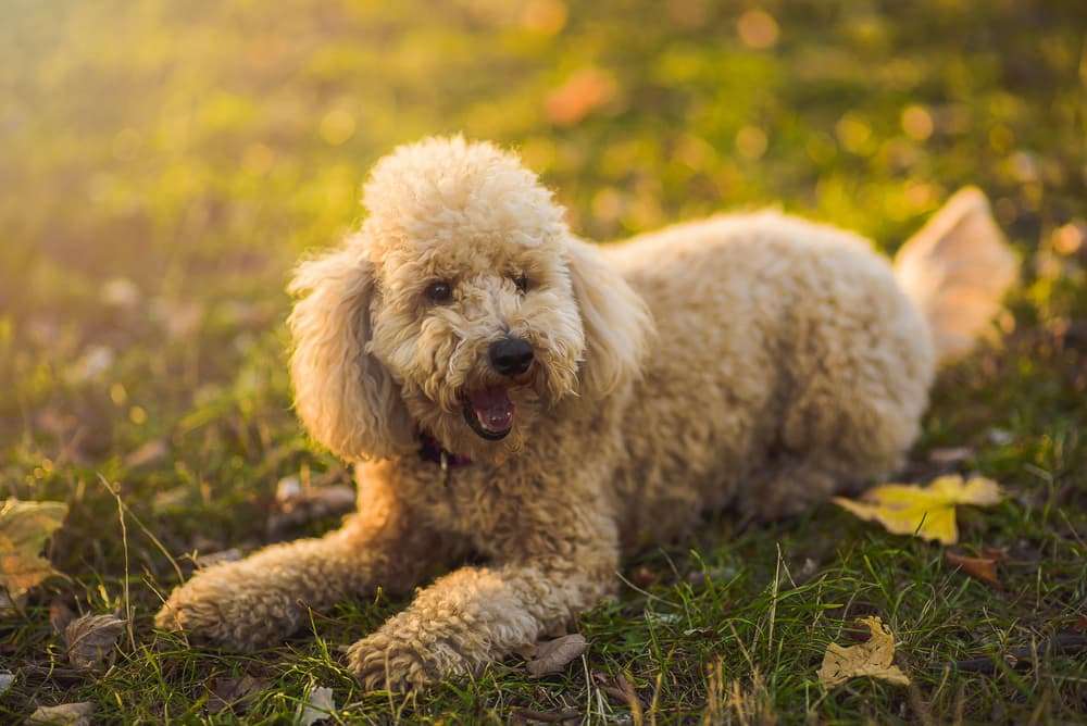 Miniature Poodle in summer